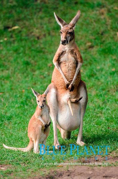 Red Kangaroos, female with young / (Macropus rufus)