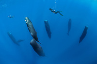 free diver swimming over a pod sleeping sperm whales, Physeter macrocephalus, according to a study, sperm whales doze in the upright drifting posture for about 10 to 15 minutes at a time, Dominica, Caribbean Sea, Atlantic Ocean, photo taken under permit n°RP 16-02/32 FIS-5