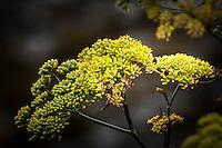 """""""Ladybug, Ladybug, Fly away home.""""  Two ladybugs explore the yellow flowers of a Sweet Fennel."""