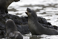 Antarctic Fur seal, Arctocephalus gazella , pups in water at beach, Gryviken whaling station South Orkney Islands, Scotia sea Southern Ocean, Antarctica