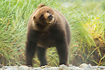 A coastal brown bear shakes off after chasing salmon in Katmai National Park.