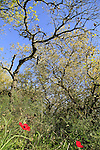 Israel, Sharon, Red Anemones and Oak trees in Alonei Yitzhak forest.