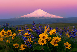Early morning alpenglow on Mt. Hood, photographed from within a patch of balsamroot and lupine in Oregon's Columbia Hills.<br /> <br /> ARTIST CHOICE: 24x36 Lumachrome/Acylic