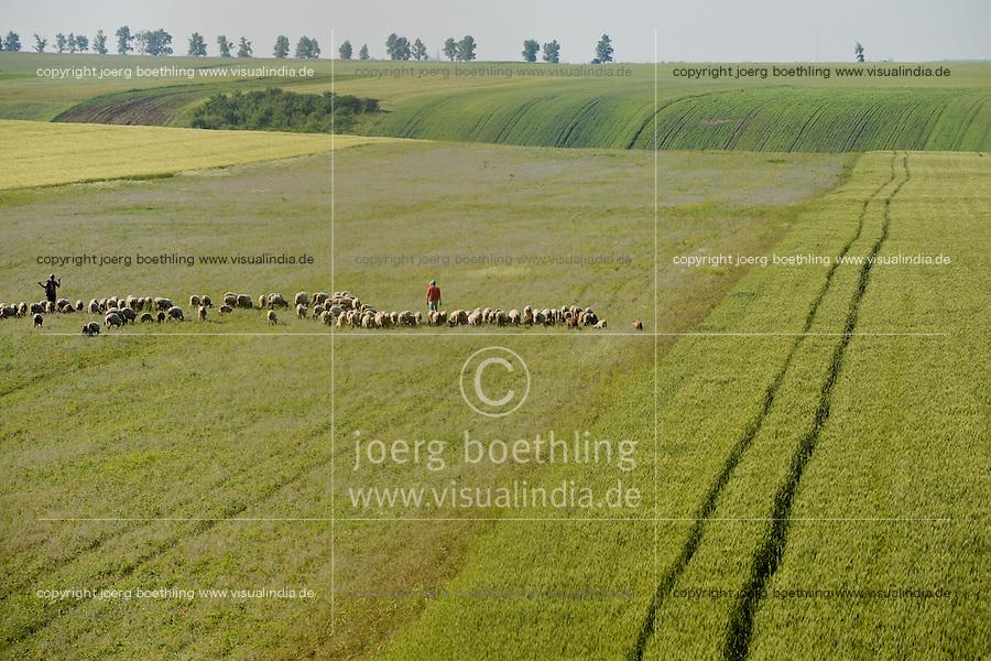 ROMANIA Banat, Firiteaz, large fields and sheep herd / RUMAENIEN Banat, Firiteaz, grosse Felder und Schafherde