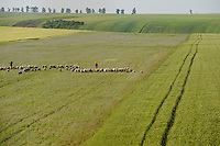 ROMANIA Banat, Firiteaz, large fields and sheep herd / RUMAENIEN Banat, Firiteaz, grosse Felder und Schafherde