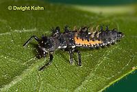 1C02-525z  Asian Ladybug Larva, Harmonia axyridis
