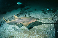 smalltooth sawfish, Pristis pectinata, critically endangered species, captive