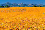 African daisies, Namaqualand, South Africa