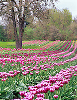 Tulip rows at Greengable Farms. Oregon.