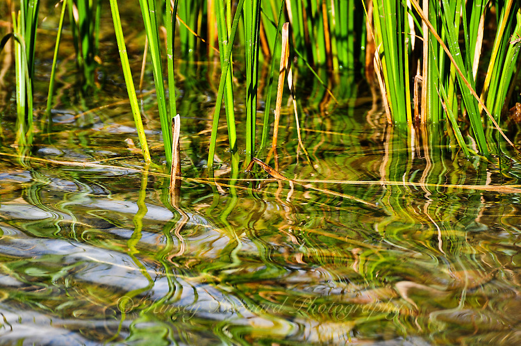 Cattail stocks reflecting on water.