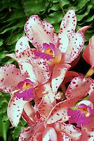 Orchid species: Cattleya amethystoglossa