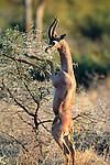 Gerenuk buck feeds on a shrub, Samburu National Reserve, Kenya