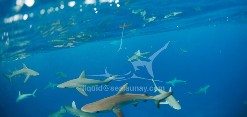 """Blacktip reef shark swimming around Middleton Reef, is a coral reef in the Tasman Sea..The blacktip reef shark, Carcharhinus melanopterus, is a shark of tropical and warm temperate seas..Distribution.One of the most common sharks found in shallow (sometimes as shallow as 30 cm) water around coral reefs of Indo-Pacific waters. The water they swim in is usually between 20 and 27° C (70 to 80º F). Blacktip reef sharks do not venture into tropical lakes and rivers far from the ocean..Appearance.As its name suggests, the tips of the shark's pectoral fin and dorsal fin are black, with a white underside. Its skin is brownish in color on the top half of its body. It has been recorded at up to 2 m (6.5 ft) in length and over 99 lbs (45 kg) in weight.[1] Its snout is blunt and rounded. The gray reef shark looks similar, and is also common, but is distinguished by its stockier and grey body and its lack of a black tip on the dorsal fin..Diet.A blacktip reef shark's diet consists mainly of reef fish, but they will also feed on rays, crustaceans, cephalopods, and other molluscs..Reproduction, behavior, and interaction with humans.Reproduction is viviparous, with 2 to 4 pups in a litter. Before giving birth, female blacktip reef sharks will incubate their young for 16 months. The pups' length at birth ranges from 33 to 52 cm..This species is not considered social, but can be seen in small groups. While generally shy, they often are curious about snorkelers and scuba divers. As with most sharks, the body is bent into a sort of """"S"""" shape when the shark feels threatened. Blacktip reef sharks are harmless unless provoked. Incidents generally involve hand feeding or spear fishing, possibly in combination with low visibility..The blacktip is one of only a few sharks that can jump fully out of the water, a behaviour called breaching. They have also been observed surfacing to look around (spy-hopping).. Population decline.Blacktip reef sharks are often the bycatch from other fisheries an"""