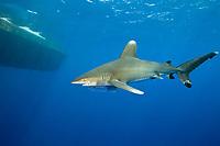 Oceanic Whitetip Shark, Carcharhinus longimanus, with fishing hook and line, Daedalus Reef, Red Sea, Egypt
