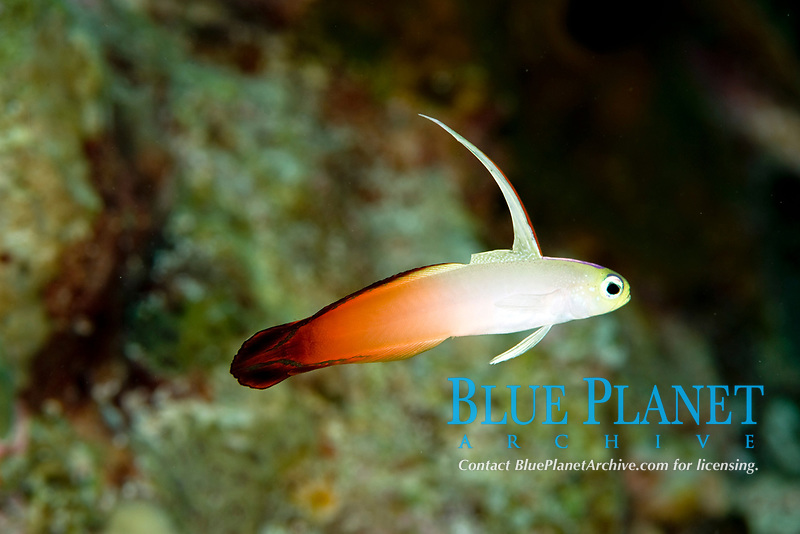 fire dartfish, nemateleotris magnifica