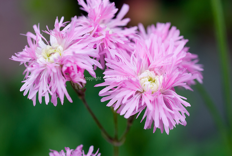 Lychnis flos-cuculi 'Jenny', double-flowered selection of the old-fashioned Ragged Robin in pink flowers with white center