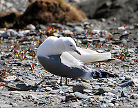 Mew gull preening
