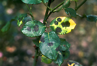 Fungal blackspot Disease in Roses caused by Diplocarpon rosae