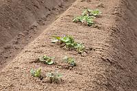 Potato plants emerging - Lincolnshire