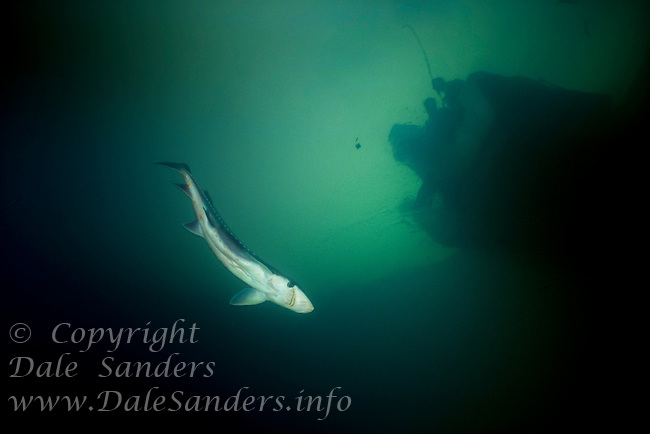Underwater photo of fisherman on a boat looking down on a hooked White Sturgeon (Acipenser transmontanus) in a tributary of the Fraser River, British Columbia, Canada. Fishing for Sturgeon is now a Catch and Release fishery only.