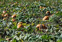 Pumpkin patch, Homer, New York, USA