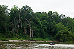 Borneo Pygmy Elephant (Elephas maximus borneensis) male swimming across river, Kinabatangan River, Sabah, Borneo, Malaysia
