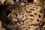 Mountain Lion (Puma concolor) fifteen day old kitten in den, Santa Cruz Puma Project, Santa Cruz Mountains, California