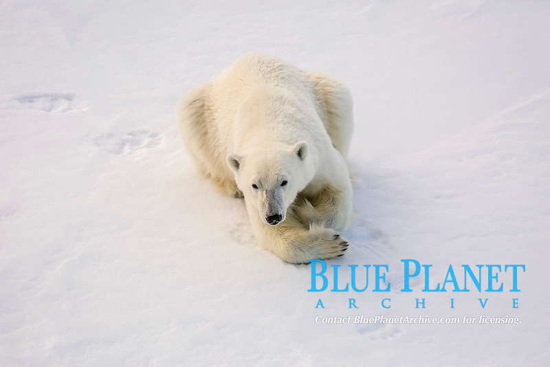 Adult polar bear, Ursus maritimus, on first year sea ice in Olga Strait, near Edgeoya, Svalbard, Norway