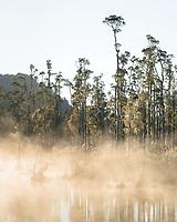 Native forest of kahikatea at Lake Wahapo near Whataroa at sunrise, Westland Tai Poutini National Park, West Coast, UNESCO World Heritage Area, New Zealand, NZ