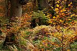 Europa, DEU, Deutschland, Hessen, Nordhessen, Weserbergland, Beberbeck, Herbst, Reinhardswald, Urwald Sababurg, Kategorien und Themen, Natur, Umwelt, Landschaft, Jahreszeiten, Stimmungen, Landschaftsfotografie, Landschaften, Landschaftsphoto, Landschaftsphotographie, Naturschutz, Naturschutzgebiete, Landschaftsschutz, Biotop, Biotope, Landschaftsschutzgebiete, Landschaftsschutzgebiet, Oekologie, Oekologisch, Typisch, Landschaftstypisch, Landschaftspflege....[Fuer die Nutzung gelten die jeweils gueltigen Allgemeinen Liefer-und Geschaeftsbedingungen. Nutzung nur gegen Verwendungsmeldung und Nachweis. Download der AGB unter http://www.image-box.com oder werden auf Anfrage zugesendet. Freigabe ist vorher erforderlich. Jede Nutzung des Fotos ist honorarpflichtig gemaess derzeit gueltiger MFM Liste - Kontakt, Uwe Schmid-Fotografie, Duisburg, Tel. (+49).2065.677997, fotofinder@image-box.com, www.image-box.com]