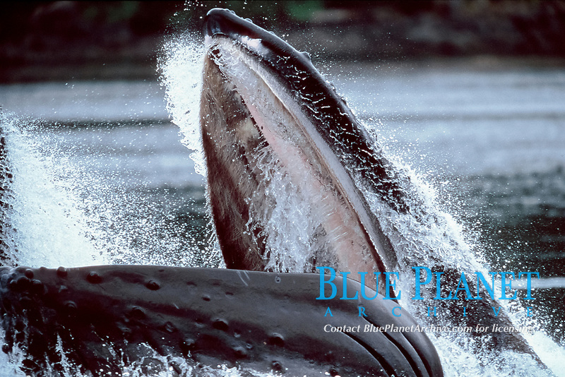 humpback whale, feeding Megaptera novaeangliae Alaska, Pacific Ocean