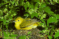 WB07-004x  Yellow Warbler - female with young in nest, protecting them from rain, Dendroica petechia aestiva [aestiva group]