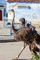 Chefchaouen, Morocco.  Man Walking an Ostrich down the Street.