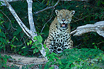 An old jaguar sits in the Pantanal, Mato Grosso, Brazil.