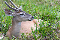 0528-1109  Central American White-tailed Deer, Belize, Male Deer with Velvet Antlers (antlers growing in soft cartilaginous state), Odocoileus virginianus truei  © David Kuhn/Dwight Kuhn Photography