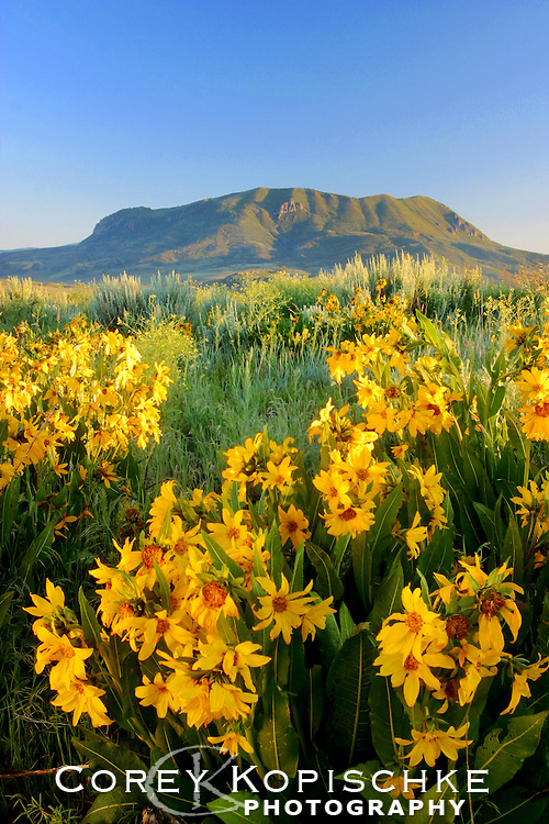 Mules ears bloom under the majestic Sleeping Giant in Steamboat Springs, Colorado