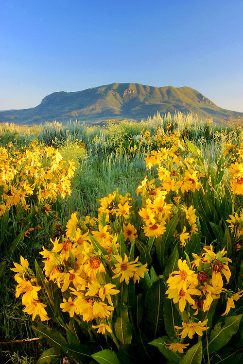 Mules ears bloom under the majestic Sleeping Giant in Steamboat Springs, Colorado