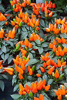 Capsicum 'Salsa' Peppers, orange vegetable