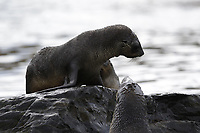 Antarctic Fur seal, Arctocephalus gazella , pups in water at beach, Grytviken whaling station South Orkney Islands, Scotia sea Southern Ocean, Antarctica