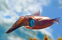 The male oval squid, Sepioteuthis lessoniana, can reach 14 inches in length.  Hawaii.<br />