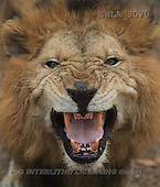 Carl, ANIMALS, wildlife, photos, lion head(SWLA3070,#A#)