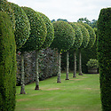 Hornbeam Walk, Town Place, end June. Standard hornbeam trees clipped into balls, with a copper beech hedge behind.