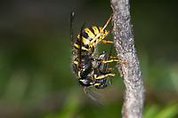Sächsische Wespe, Wespe, Wespen, hat eine kleine Fliege erbeutet, Beute, Kleine Hornisse, Dolichovespula saxonica, Vespula saxonica, Saxon wasp, la guêpe saxonne, Faltenwespen, Papierwespe, Papierwesen, Vespidae