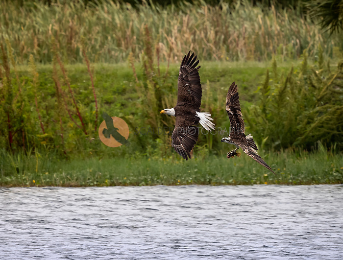 A Bald Eagle flying around harassing an Osprey  with a fish over water. Both birds are in flight