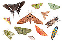 Various species of moth photographed on a white background in mobile field studio in tropical rainforest. Danum Valley, Sabah, Borneo, Malaysia. Digital composite.
