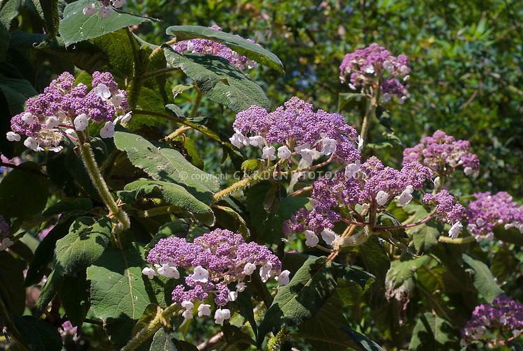 Hydrangea aspera subsp. sargentiana flowers