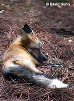 0820-1001  Red Fox, Vulpes vulpes  © David Kuhn/Dwight Kuhn Photography
