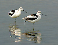 Two American avocets in winter plumage