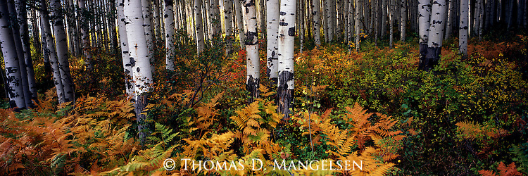 The bracken fern undergrowth in this aspen grove adds to the color of autumn on McClure Pass, Gunnison National Forest, Colorado.