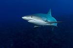 Carcharhinus perezii, Caribbean Reef shark, Cuba Underwater, Jardines de la Reina, Protected Marine park underwater, Sharks